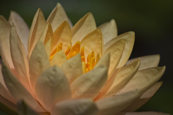 Yellow_water_lily_IMG_1855