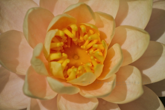 Yellow_water_lily_IMG_1872