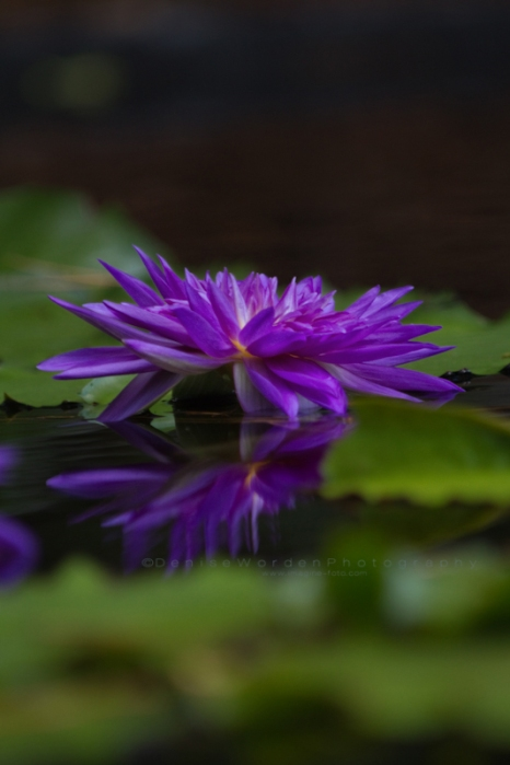Purple_water_lily_IMG_1883