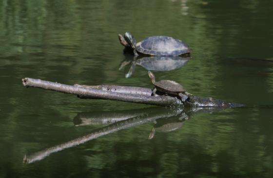 Turtles_IMG_1987