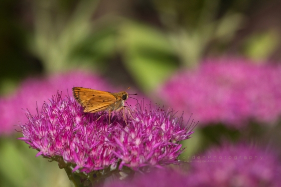 Pink_flower_butterfly_IMG_1995