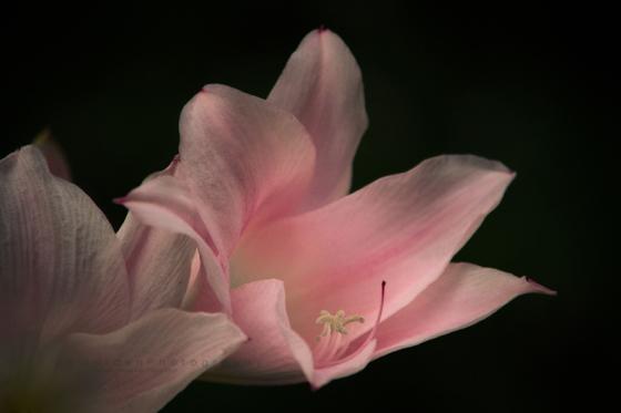 Pink_daylily_IMG_2066