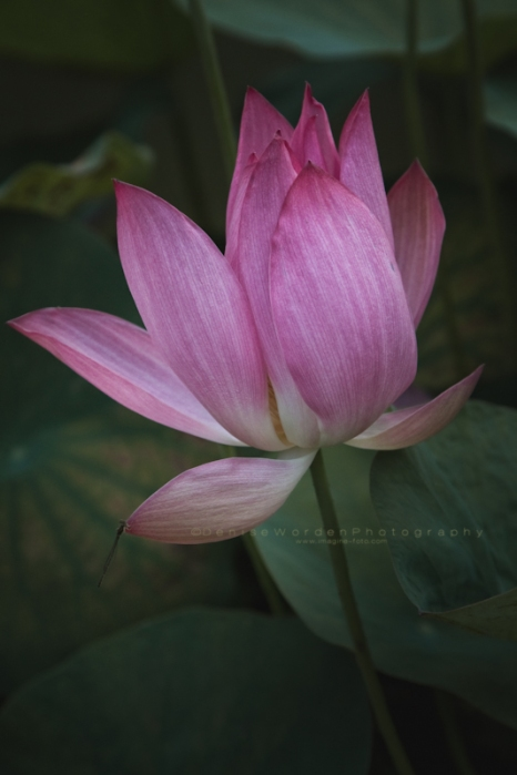 Pink Lotus bloom & damsel fly