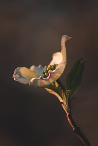 Dogwood Afternoon Light| 11 x 15 | Archival Print | Original price 250.00